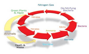pond nitrogen cycle